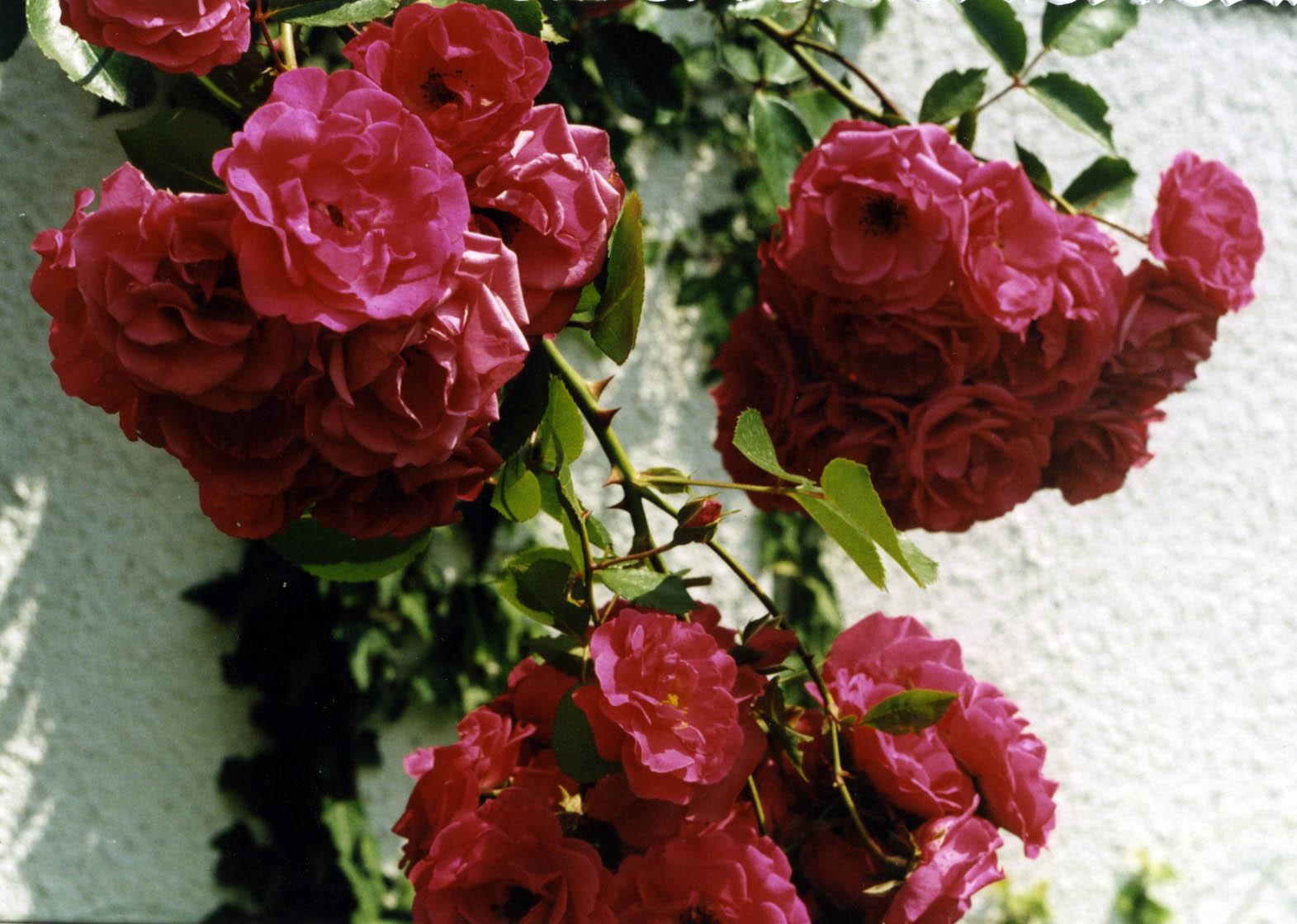 Роза плетистая виктория 4
